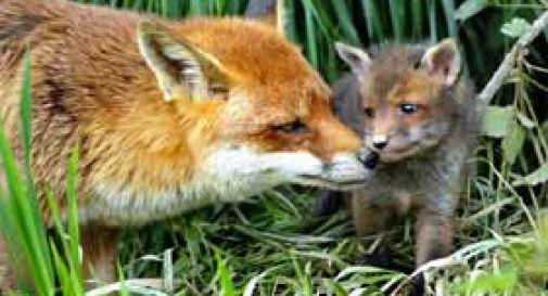 """WWF Bergamo Brescia contro la caccia alla volpe: """"Pratica nociva non giustificata dall'etica e dalla scienza"""""""