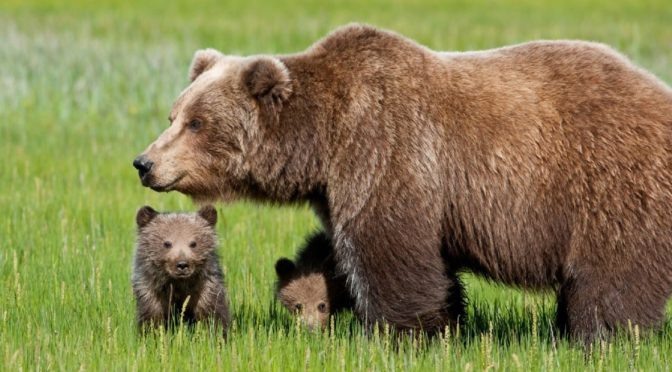 Orso in Trentino: WWF, necessario capire bene la dinamica accaduto